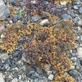 Uist Lochmaddy seaweed