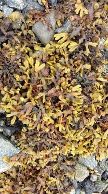 Uist seaweed